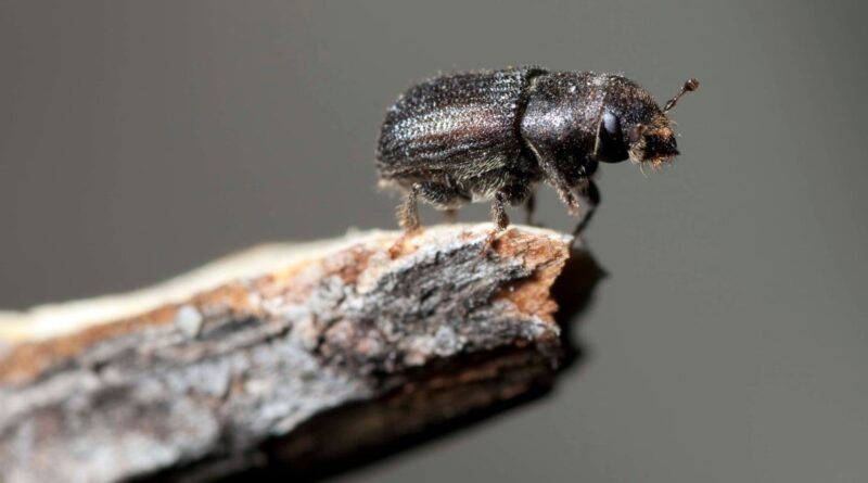 The Little Bug That Could Ruin Ski Season and Is as Destructive as Wildfires