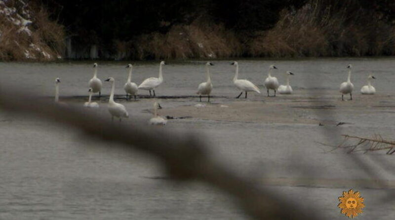 Nature: Trumpeter swans